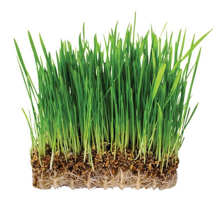 새싹 보리▶사포라닌 성분이 간 수치를 낮춰주고, 폴리코사놀은 콜레스테롤과 내장 지방을 배출해준다.