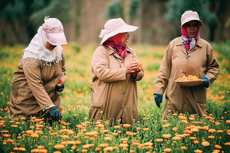 현지 여성이 메리골드 꽃을 손으로 수확하고 있다.