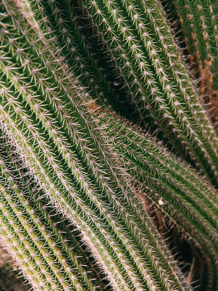 우리카 정원의 문라이트 선인장. 퓨어샷 나이트 리부트 세럼의 핵심 성분이다.