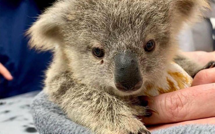 호주 산불로 화상을 입은 야생동물을 위해 지금 우리가 할 수 있는 일 중 하나. 캥거루를 위한 파우치와 코알라를 위한 벙어리 장갑을 만드는 것.
