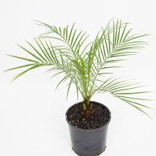 피크미 데이트 팜(Pygmy date palm)