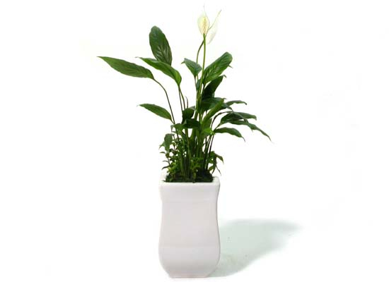 피스 릴리 (Peace Lily, 스파티필룸)