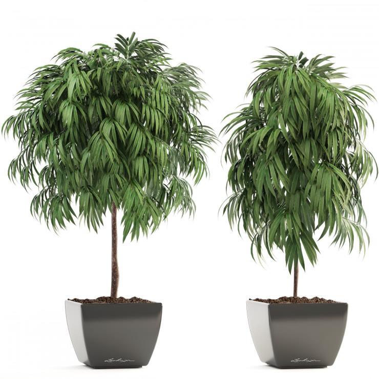 피쿠스 알리 (Ficus Alii, 알리 고무나무)