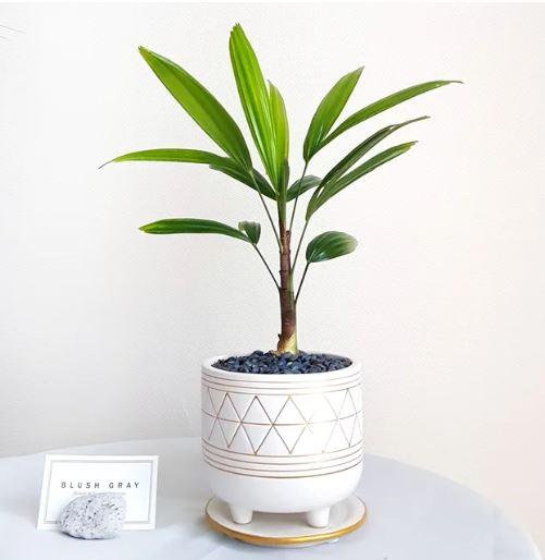 관음죽(Lady Palm)