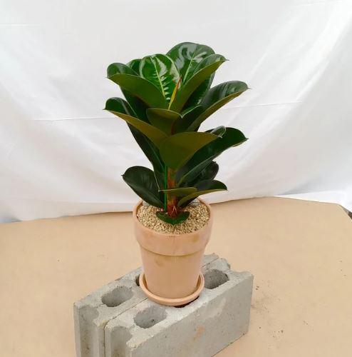 고무 나무(Rubber Plant)
