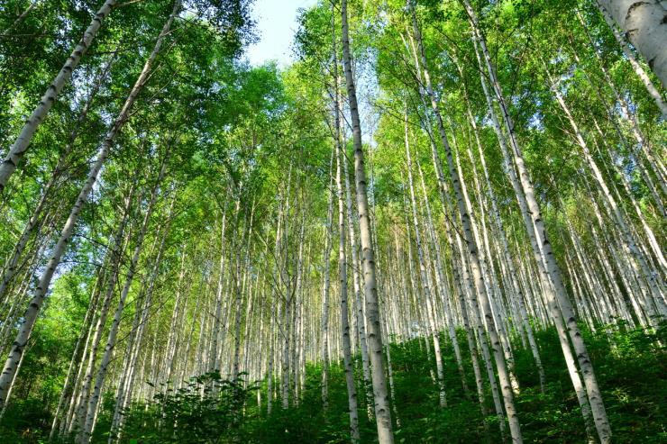 속삭이는 자작나무숲