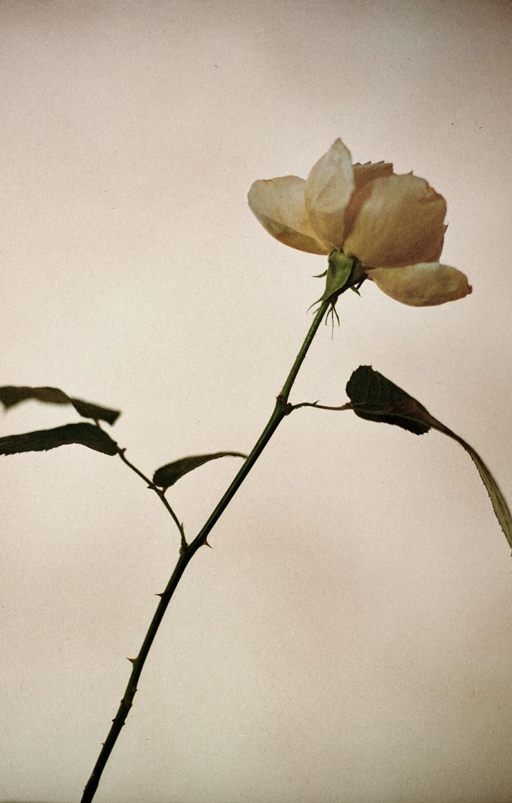 꽃잎부터 줄기, 가시, 뿌리를 내리고 있는 흙까지 장미의 생명주기를 모두 담고 있는 이솝 로즈 오 드 퍼퓸. © ACHP/ADAGP 2020